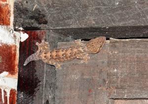 Imagen del segundo Thecadactylus rapicauda, observado el 07/12/2013