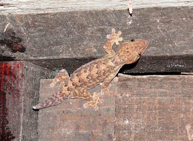 Thecadactylus rapicauda 03