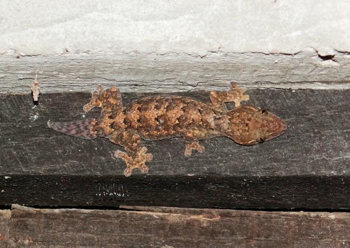 Thecadactylus rapicauda 02