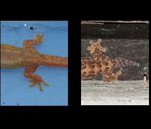 Vista comparativa de los geckos 01
