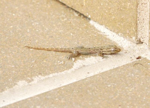 Hemidactylus frenatus 01
