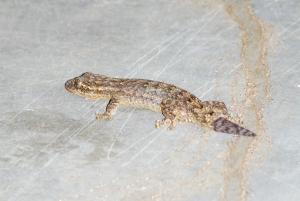El primer ejemplar de Thecadactylus rapicauda, foto del 20/09/2009