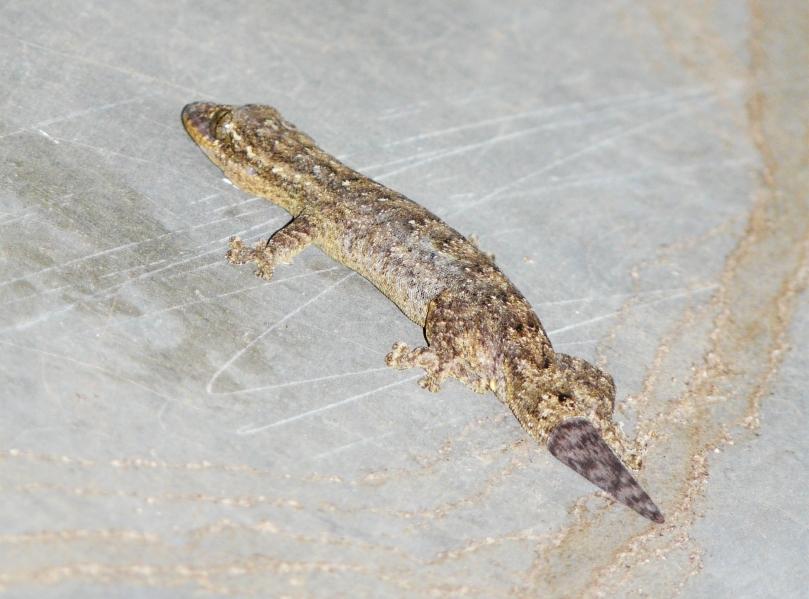 Thecadactylus rapicauda 01