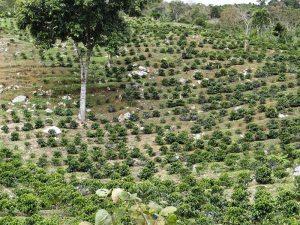 Plantaciones de café en la falda de la montaña