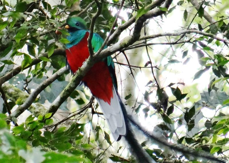 Otro quetzal macho