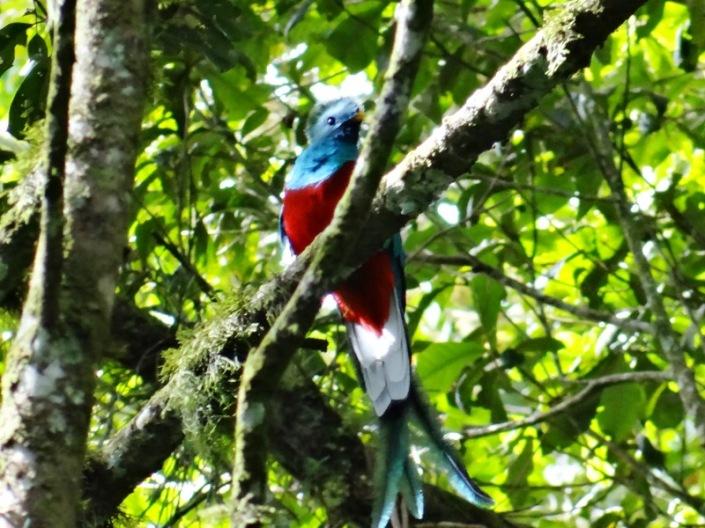 Quetzal macho