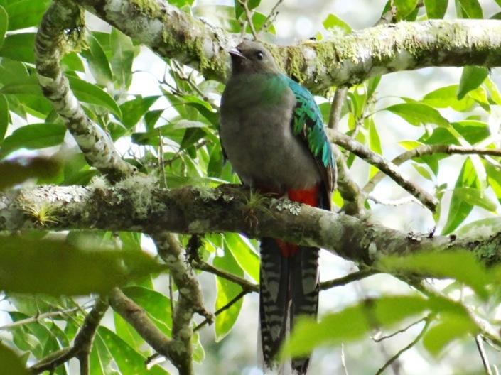 Quetzal hembra