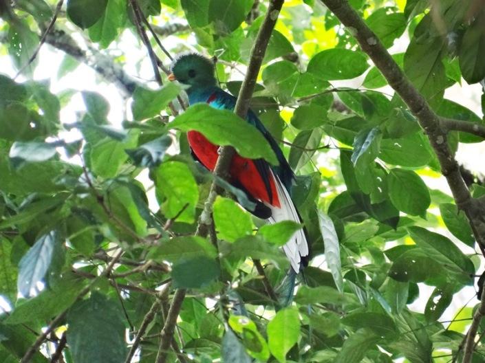 Quetzal macho semioculto entre el follaje