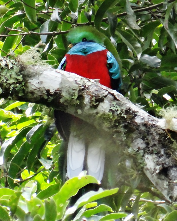 Quetzal 003 (macho)
