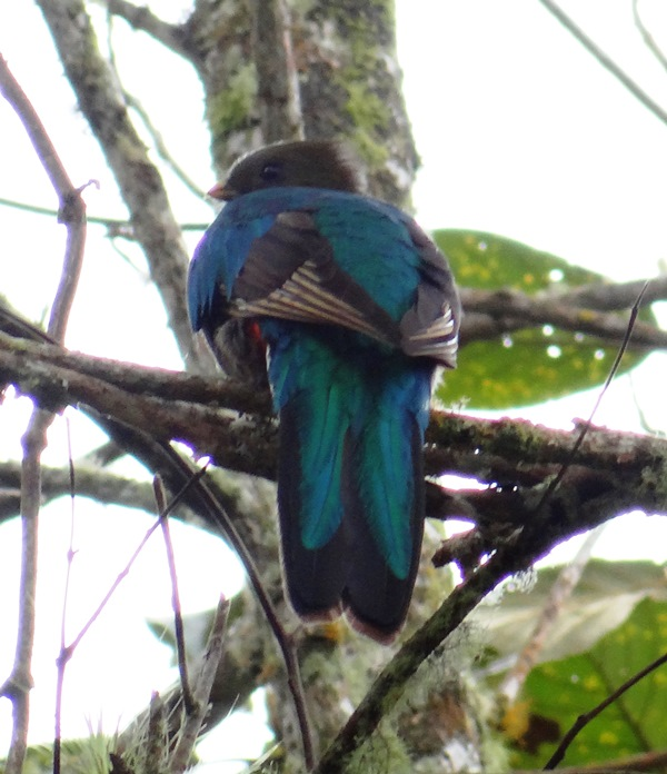 Quetzal hembra, vista posterior; se advierte el tono azulado por el reflejo del sol