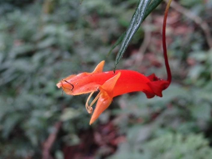 Una curiosa flor que vimos al regreso, una orquídea con forma de pez
