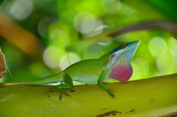 Anolis allisoni mostrando su gula; foto por Joel Amaya tomada en Mahogany Bay, Roatán, Honduras (foto usada con permiso)