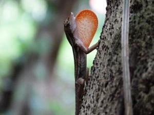 Norops lemurinus mostrando su gula