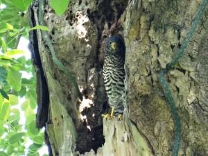 Micrastur semitorquatus juvenil 05