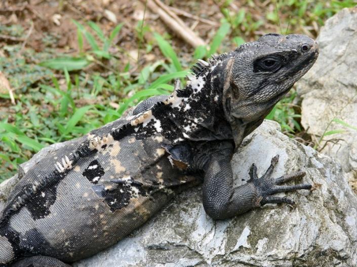 copia-de-021-ctenosaura-oedirhina