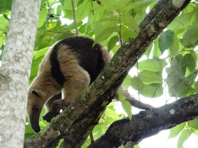 Tamandúa mexicana 04 DSC04624