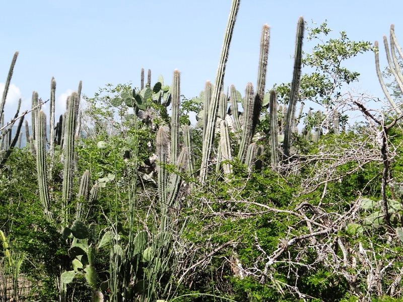 Bosque muy seco - Pilosocereus chrysacanthus y Opuntia hondurensis