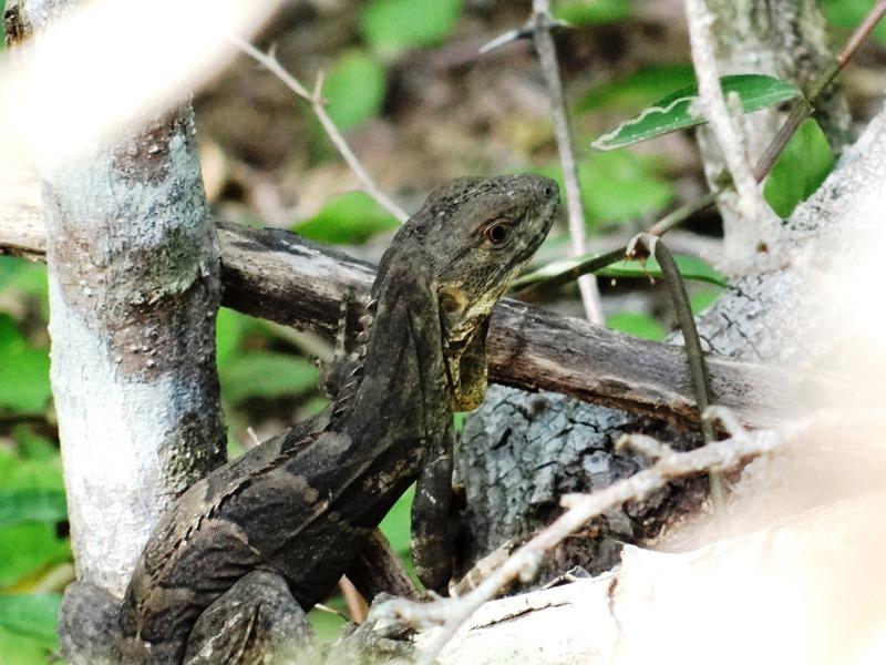 Ctenosaura melanosterna - jamo negro 01