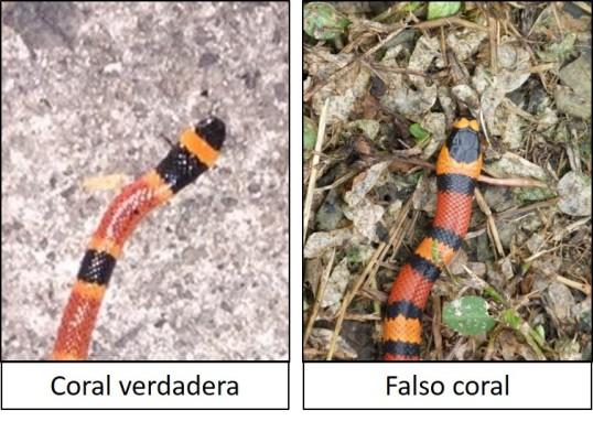 Coral verdadera vs Falso coral 01.jpg