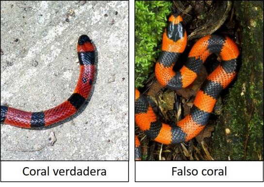 Coral verdadera vs Falso coral 02.jpg