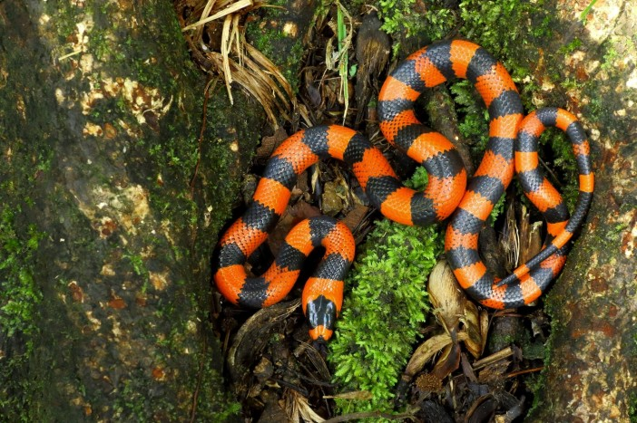 Lampropeltis abnorma - James Adams 01.jpg