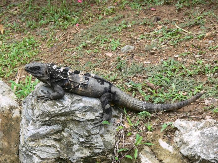 019 Ctenosaura oedirhina