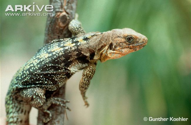 Ctenosaura flaviorsalis - Yellowback-spiny-tailed-iguana