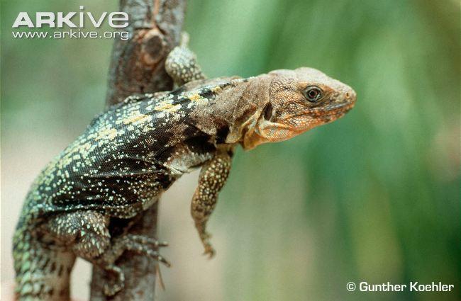 Ctenosaura flaviorsalis - Yellowback-spiny-tailed-iguana
